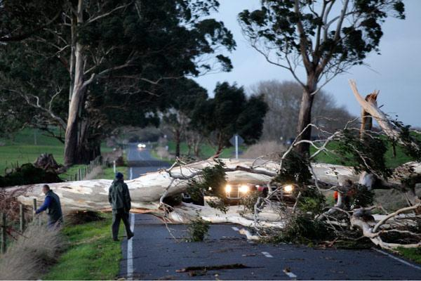 TREE DOWN: Strong winds toppled a gum tree across Boyd Rd, Hamilton.