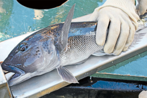 KEEPING TABS: A blue cod is caught, measured and released in the Marlborough Sounds during a fish survey in 2010.