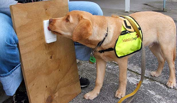 CLEVER CANINE: Duke wore a yellow bib while he was being trained to turn off light switches, open doors and interact with shopkeepers.