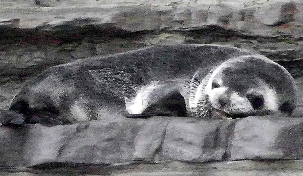 STILL ALIVE: The small seal was basking in the sun at Fisherman's Cove.