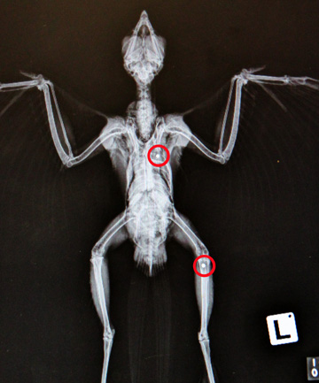 X-ray of falcon with shotgun pellets in body