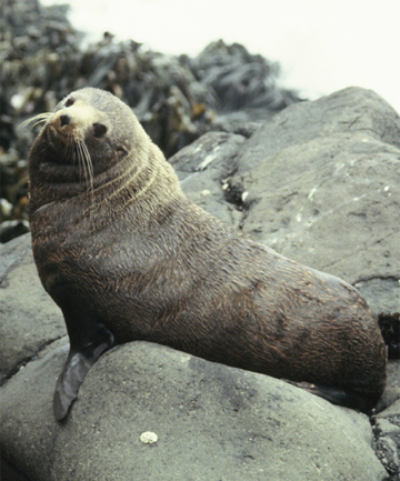 A New Zealand fur seal