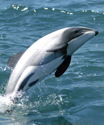 ELECTION ISSUE: A Colmar Bunton poll indicates 60 per cent of New Zealanders are more likely to vote for political parties if they commit to protecting the endangered Maui's dolphins.