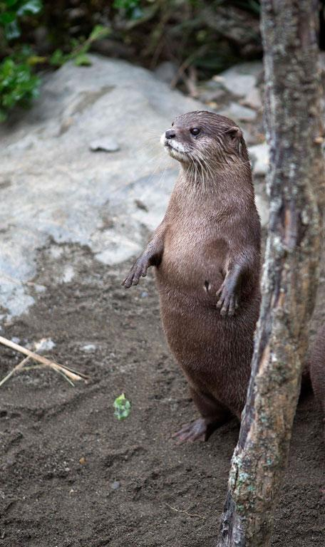 SURPRISE: Maraotter blends in with his surroundings in an attempt to confuse the competition... is that an otter or another tree?