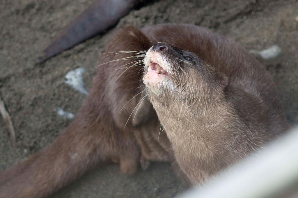 ITCHING TO GET GOING: Maraotter laughs to himself, thinking the competition are but mere fleas.