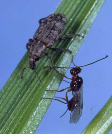 The parasitic wasp sizing up an Argentine stem weevil may have lost some of its biocontrol powers.