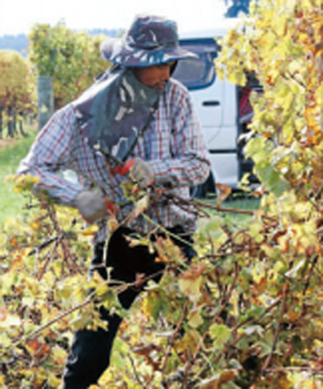 GENTLY DOES IT: Niran Phnathum  hand-strips vines in Spring Creek.