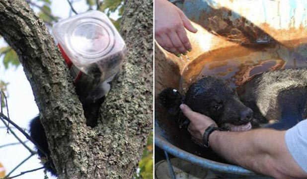WEDGED: The bear cub was trying to get the remains of biscuits when its head became stuck in the container. The cub then became wedged in a tree.