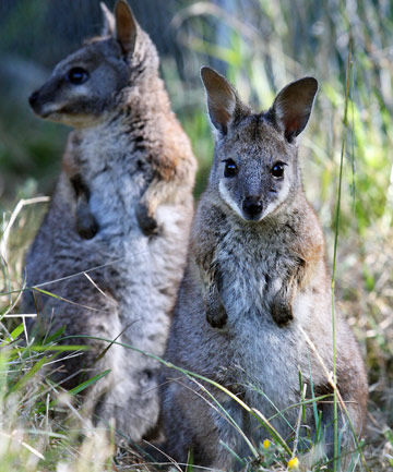 wallaby watch