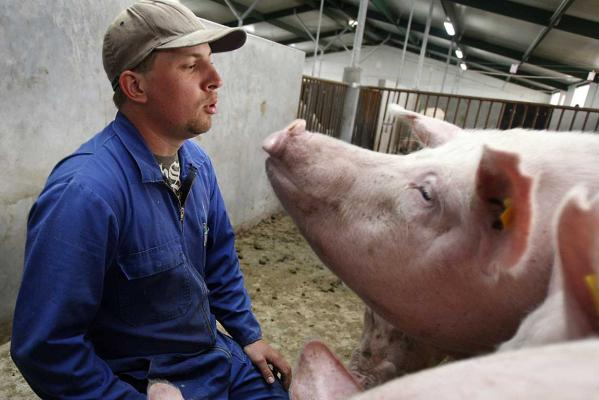 A 2011 photo of a farrowing shed at the Stanley Piggery in Taranaki.