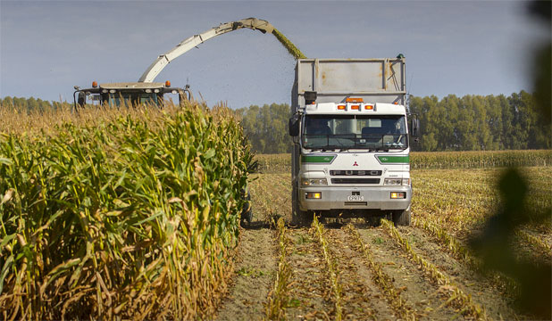 AMAZING MAIZE: A combine harvester and truck make quick work of this maize field near Palmerston North.
