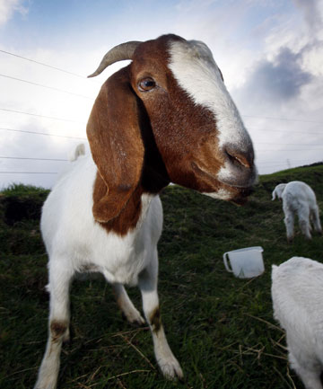 "POPULAR: Boer goat meat is consistently good and ""nothing like old billy goat""."