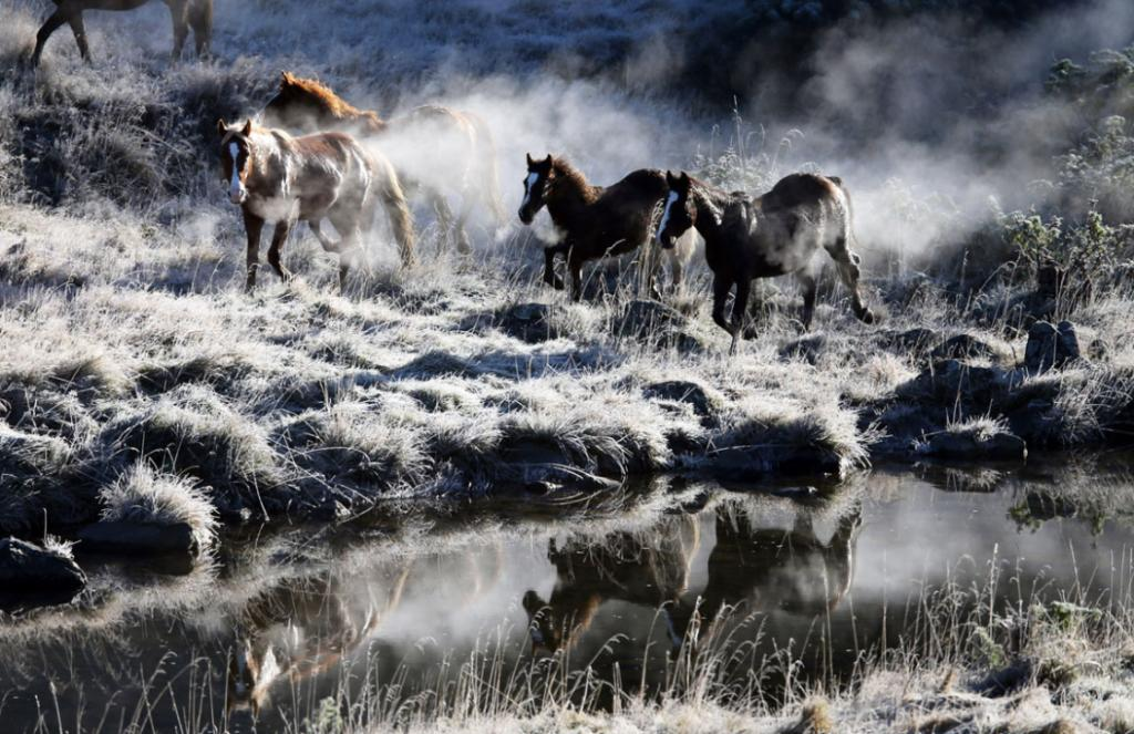 Horses reflected in the stream on their way to the Muster yards during the Biennial  Kaimanawa Wild Horse Muster.