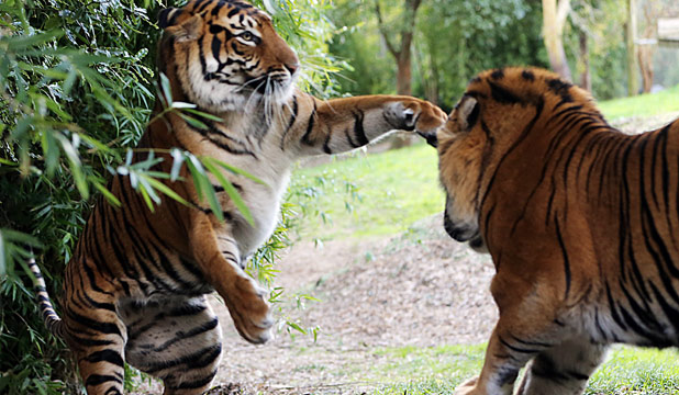 Sumatran Tigers Oz and Sali