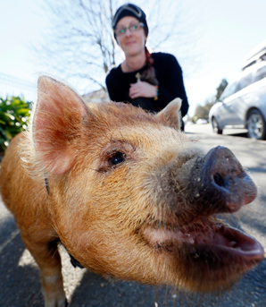 SNOUT AND ABOUT: Kelly Stewart and her 3-month-old pet kune kune pig, Muck.