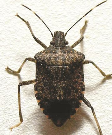 An adult brown marmorated stink bug, almost 2cm long.