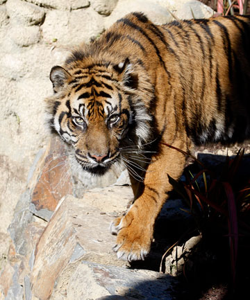 SPECIAL TREATMENT: Rokan the tiger gets his own panel heater during the colder months, while chimpanzees snuggle up with underfloor heating.