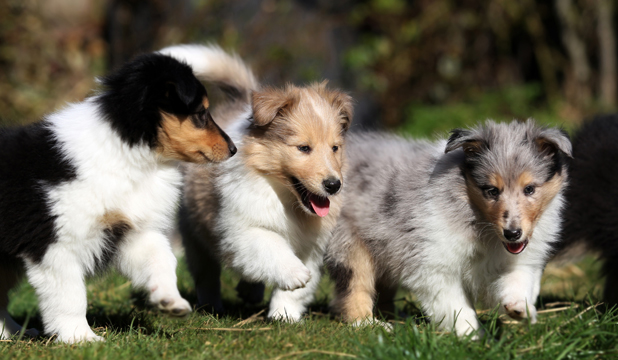 roughcoat collie puppies