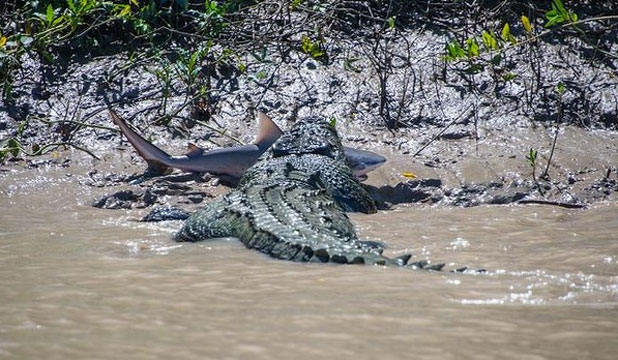 EPIC BATTLE: Brutus, a monster crocodile, with a bull shark between its jaws on the Adelaide River in the Kakadu National Park.