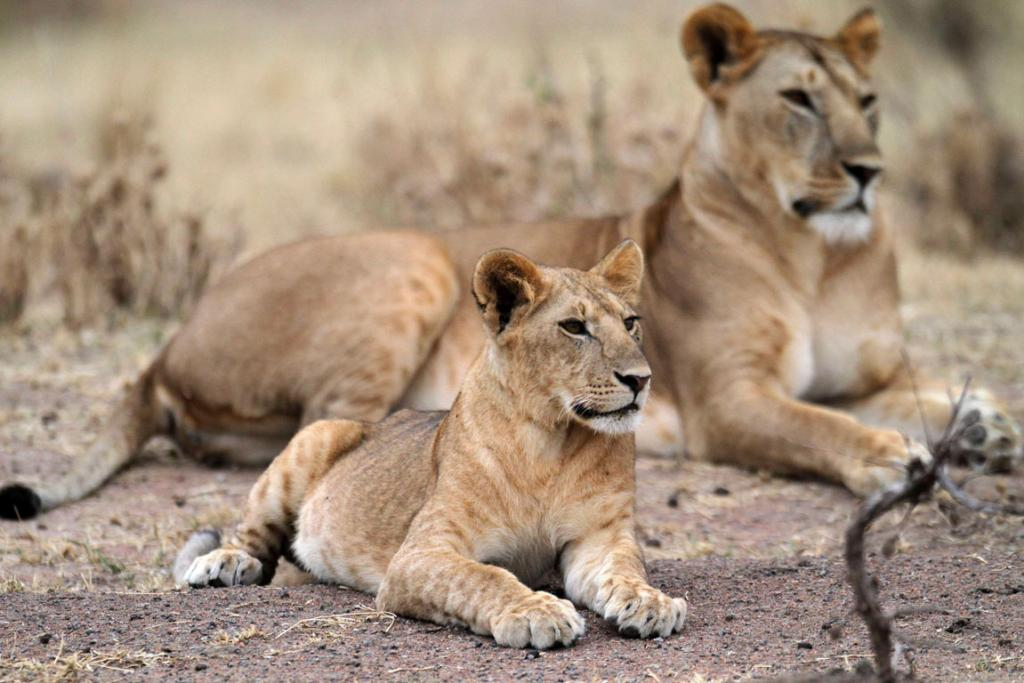 A lioness rests with its cub.