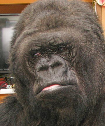 SAD: Koko responds to the news of Robin William's passing.