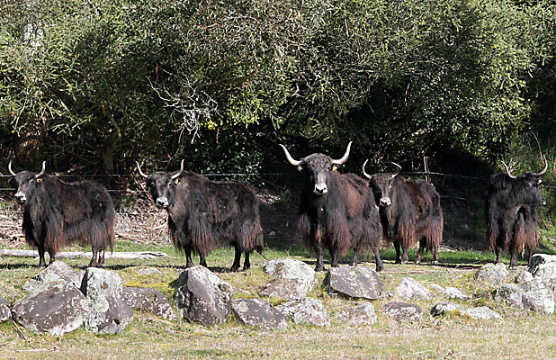 NEW ADDITIONS: Orana Wildlife Park's five yaks were put on public display this morning.