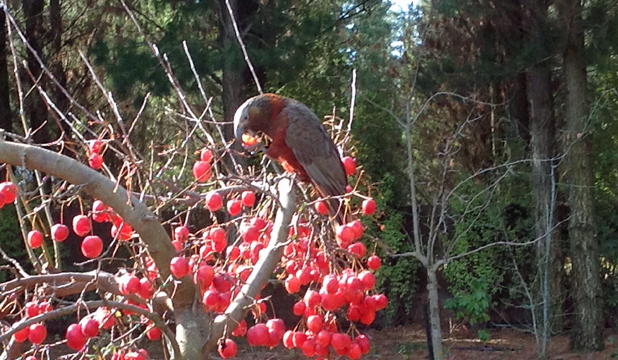 LONG WAY FROM HOME: A kaka  pays a visit to a property in Bannockburn Rd,  Cromwell.