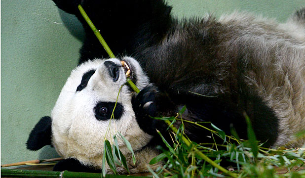 SWEET LIFE: Pregnant pandas in captivity get their own suites loaded with amenities such as air conditioning and plenty of buns, fruit and bamboo.