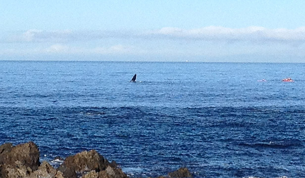 A distant sighting of the whale off Princess Bay this morning.