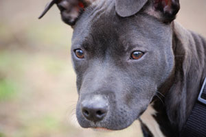 The changing face of pit bulls | Stuff co nz