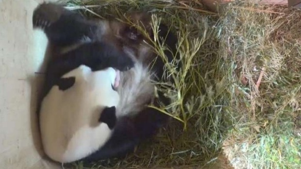 Rare giant panda baby born at Vienna Zoo