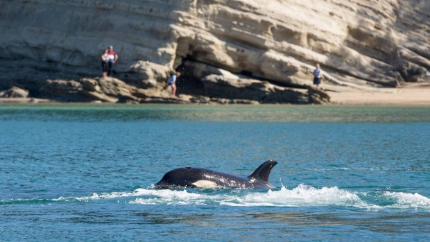 Orca Family Puts On Evening Show
