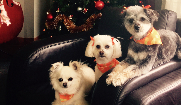 12 Pets Of Christmas Three Wise Dogs