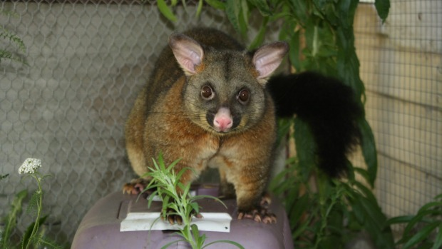 Pet possum safely home after lolly lure | Stuff.co.nz