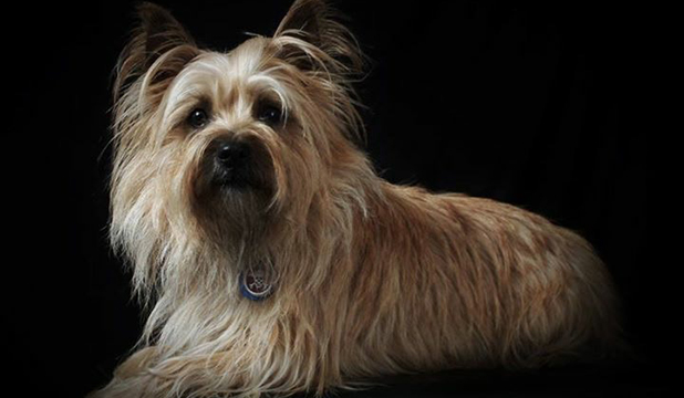 Pet of the day: Pixie, the perfect cairn terrier | Stuff co nz