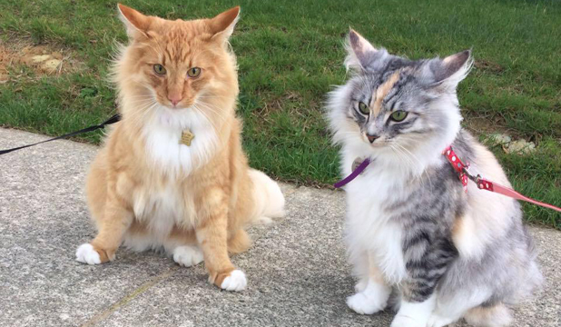 pet of the day neeson the norwegian forest cat stuff co nz